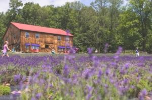 Peace Valley Lavender Farm / TraciElaine.com