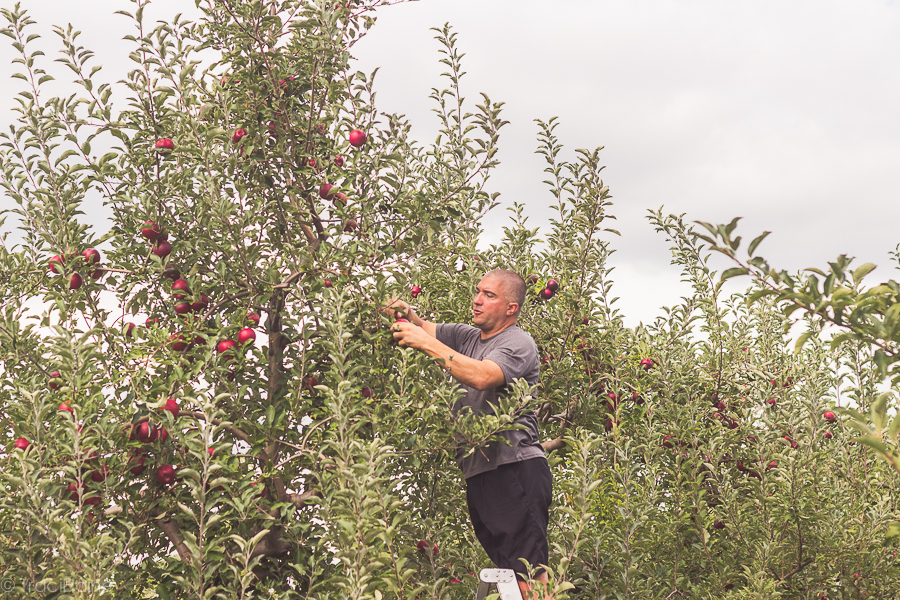 Solebury Orchards: Apple Picking