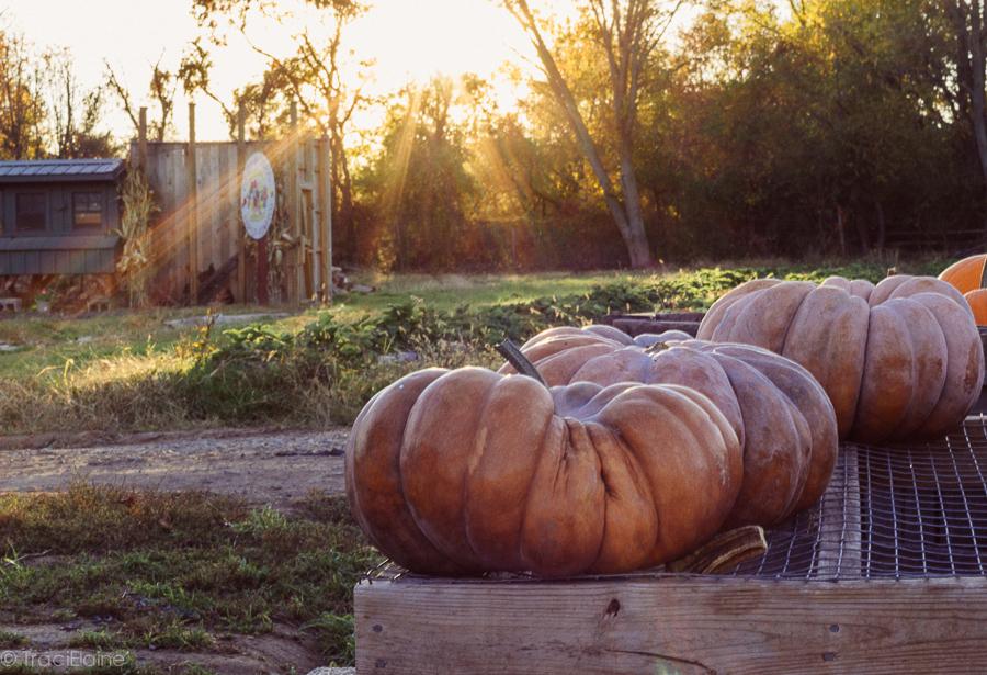 TraciElaine.com: Signs of Autumn - Pumpkins