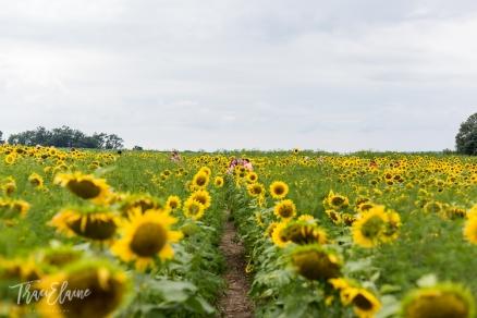 Sunflower-24