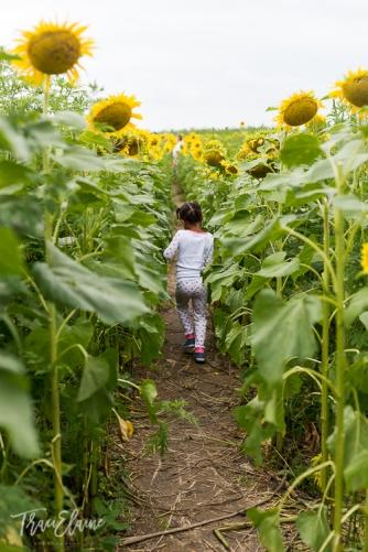 Sunflower-25